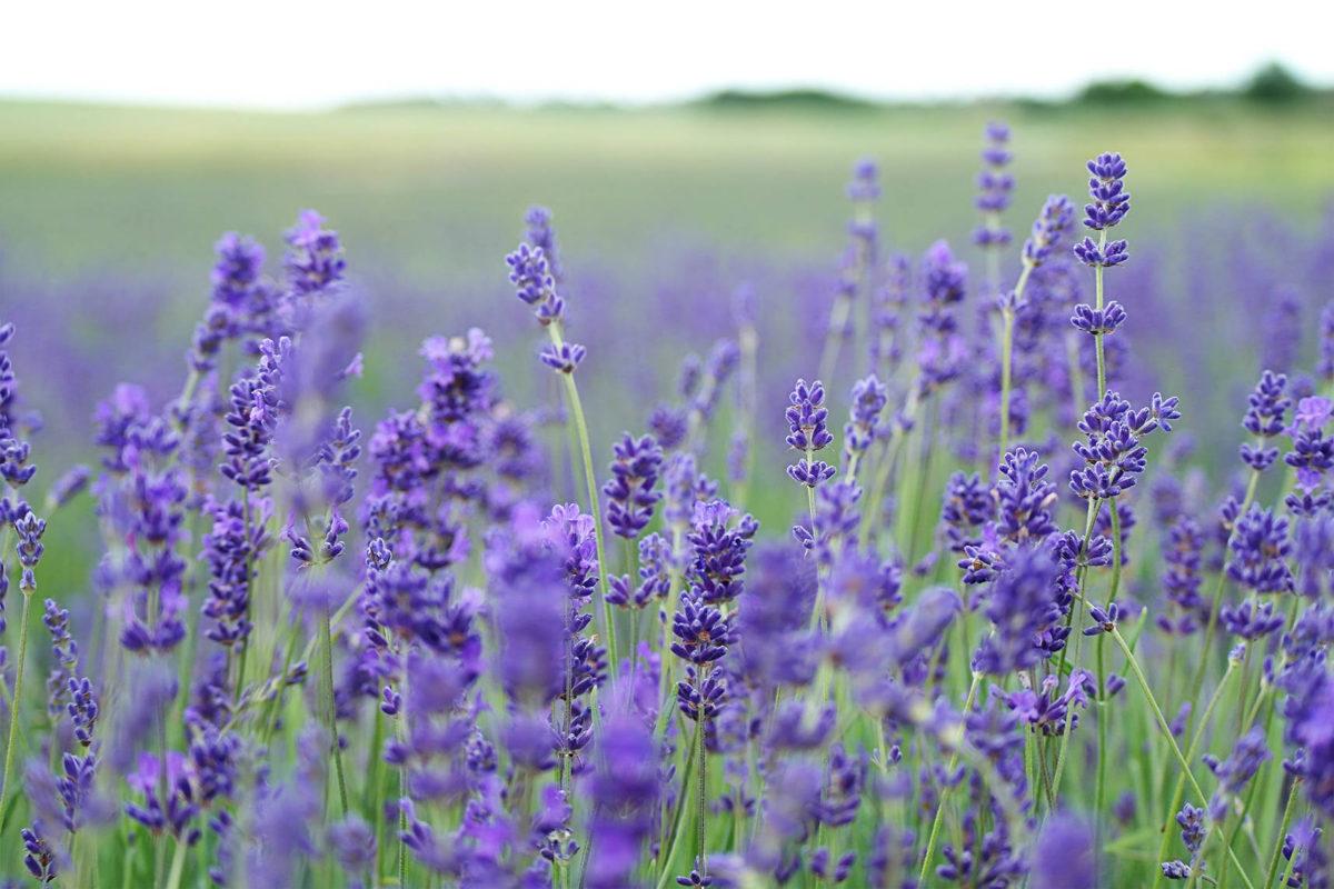 Daytrips: Terre Bleu Lavender Farm